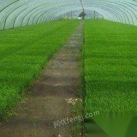 吉林通化出售水稻苗出租水稻插秧机